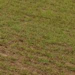 biologisch angebautes Einkorn lat. triticum monococcum: Vorfahr des Weizens